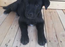 كلب لابرادور عمرو شهرين ونص