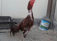 للبيع زوج دجاج باكستاني