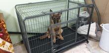كلب جيرمن شيبر بيور شورت هير
