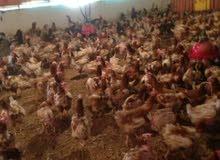 دجاج هولندي الاحمر البيااااض