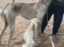 للبيع 5 كلاب سلوقيات عربيات