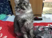 قطط شيرازي نثيه عدد 2 عمر 6شهور