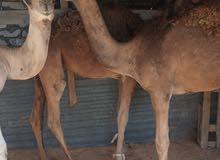 زوز قعدان وبكره نضاف واتيات مسرحات في النعمه مكانهم طرابلس سوق الجمعه