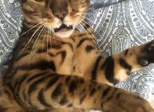 قط بنغال بيور