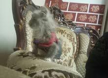 قطة عمر شهرين ونص تقريبا