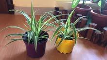 spider plant (new)