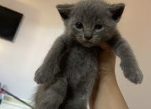 kitten scittish fold