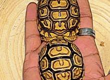 سلاحف نمرية Leopard tortoise