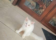 قط شيرازي جميل جدا فالواقع أحلى من الصور محصن ومدرب على اللتربوكس
