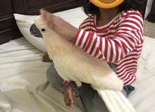 Moluccan Cockatoo 9-10 Months old King Size
