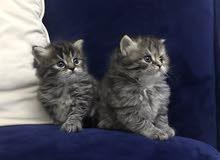 قطتين للبيع بريتش لونج هير