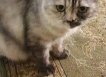 قط شيرازي الاصل