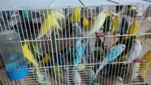 طيور حب للبيع - جميع الالوان .. بسعر مغري ولقطة ..للجادين .. بسعر مغري جاد 7د/للجوز