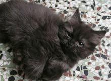 قطة شيرازي سوداء