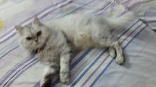 قطة شيرازي جبلي واخدة كل الطعيمات وهي الآن في سن الزوج