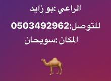 ناقه عمانيه محليه