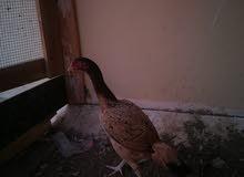 دجاجه ميوال ع سندي