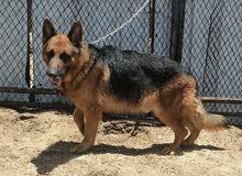 كلب جيرمن شبرد شوي لين مديم هيرالعمر3سنوات ونص