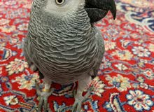Tame Congo African Grey Parrot (Red Tailed) ببغاء أليف أفريقي رمادي ذو ذيل احمر