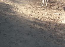 تيوس صوماليات