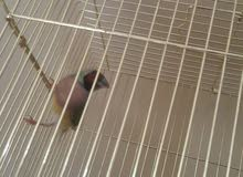 للبيع طائر القوس قزح (حسون )مع القفص لأعلى سعر بداية السوم 250 ريال