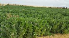 40 فدان ارض زراعية للايجار جاهزة للزراعة بالفيوم