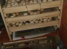 تصنيع حضانة ديجيتال لجميع أنواع صيصان و فقاسة  البيض ديجيتال و يدوية صنع