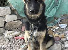 كلب جرمن شيبرد للبيع