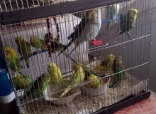 love bird   sahar