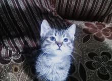 قطط مع امهم لون ابيض كامل للبيع لاعلى سعر