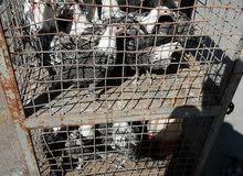 دجاج فرخات  فيومي للبيع العمر 4 شهور العدد 500 فرخه