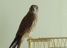 Kestrel Baby Falcon