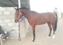 حصان عربي فلات ريس