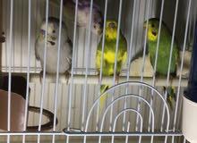 طيور بادجى للبيع لعدم التفرغ