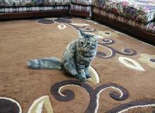 قطة شيرازي للتبني العمر 4 شهور مع الاغراض