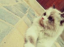 قطه انثى اليفهجدااا (هملايا)  الموقع الأحساء