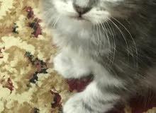 قطط للبيع العمر 40 يوم النوع شيرازي وهيمالايا السعر 60 دينار