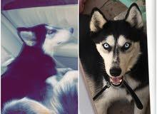 كلب هاسكي - husky dog
