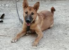 كلبة جيرمن العمر 5 اشهر
