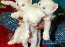 ثلاث قطط