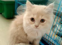 pure Persian male kitten