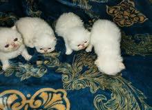 قطط بيور حديثي الولادة للحجز