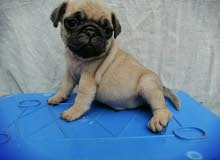 pug dog for sale male كلب بج للبيع