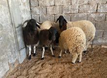 خروف ونعجتين وفطيمة