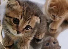 قطط صغار سكوتش فولد