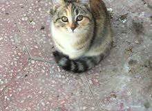أنثى قطة شيرازي جميلة لطيفة.