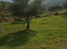 ارض 3 دونم و 800 متر مزروعه و مطله ب منطقه المجدل - جرش مزروعه زيتون