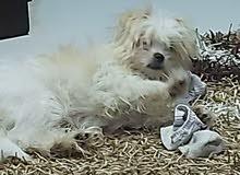 كلب شيتزو عمره 7 شهور