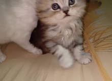 اعلان قطط