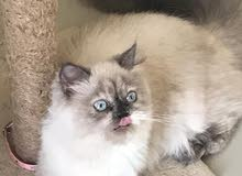 قطة منزلية للبيع من نوع هلامية